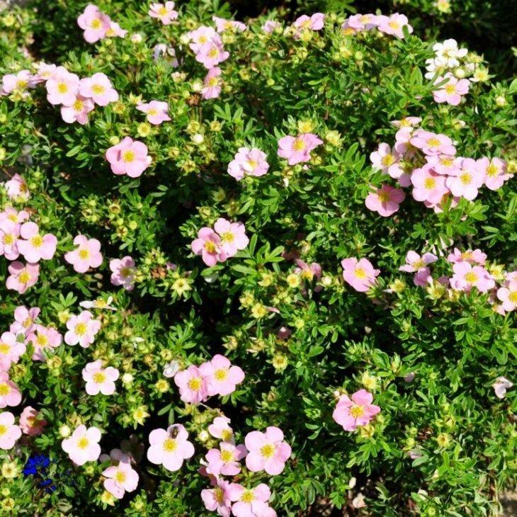 Potentillahæk - Potentilla fruticosa 'Lovely Pink' 30-50 cm