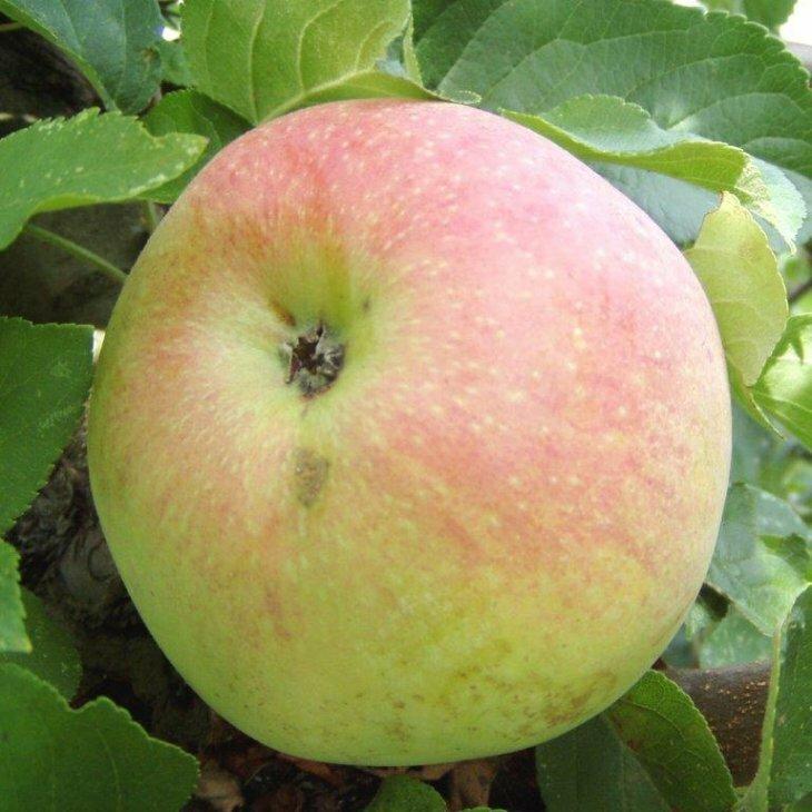 Æbletræ Aroma Dværg