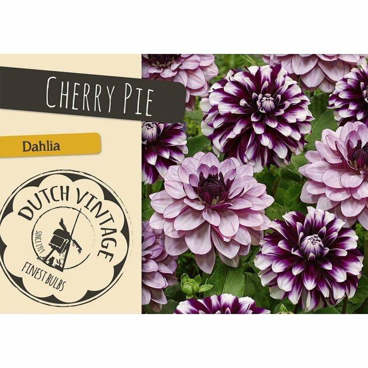 DAHLIA CHERRY PIE (Blomsterløg)