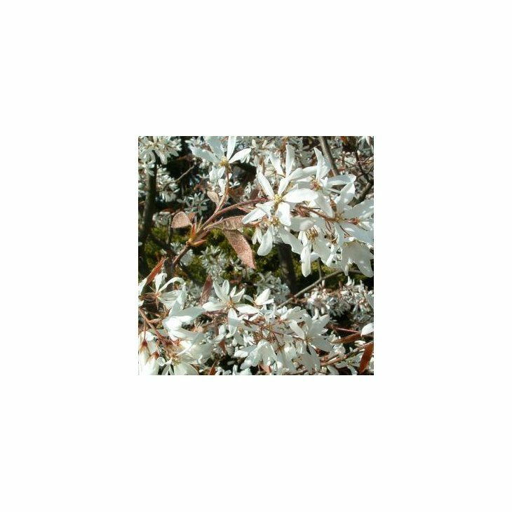 Bærmispel - Amelanshier canadensis 50-80 cm