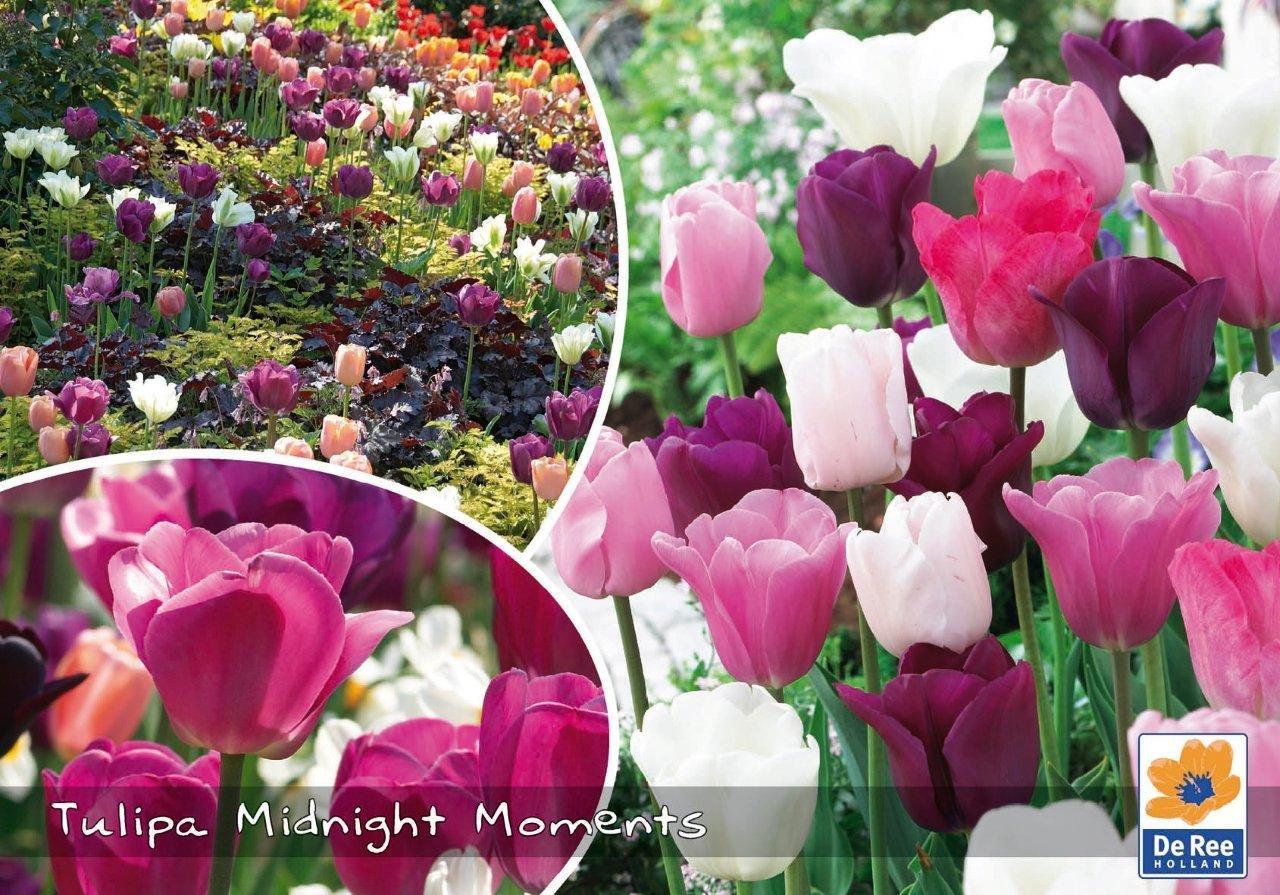 Tulipaner Midnight Moments - hvid-pink og rosa farver - Landscape 30 løg