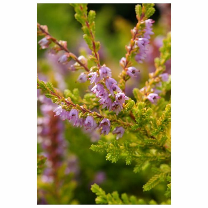 Efterårslyng - Calluna vulgaris 'Wickwar Flame'