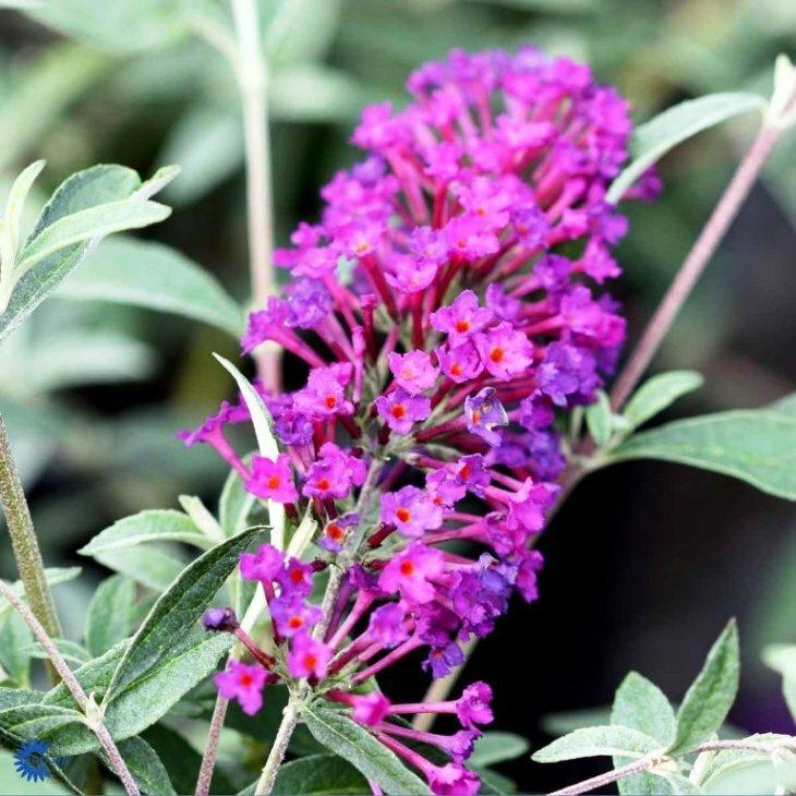 Sommerfuglebusk - Buddleia davidii 'Nanho Purple' i 5 L potte