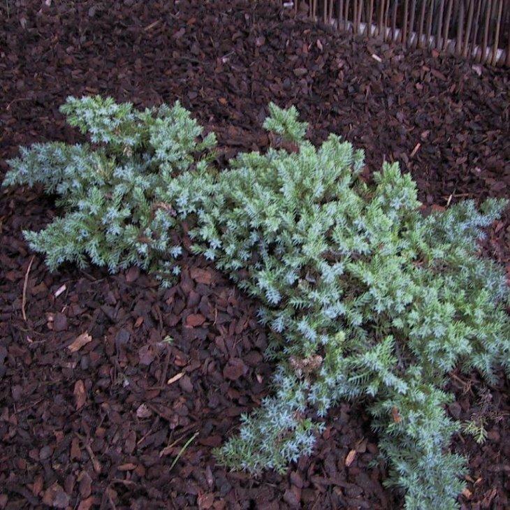 Enebær - Juniperus chinensis var. procumbens 'Nana' 20-25 cm
