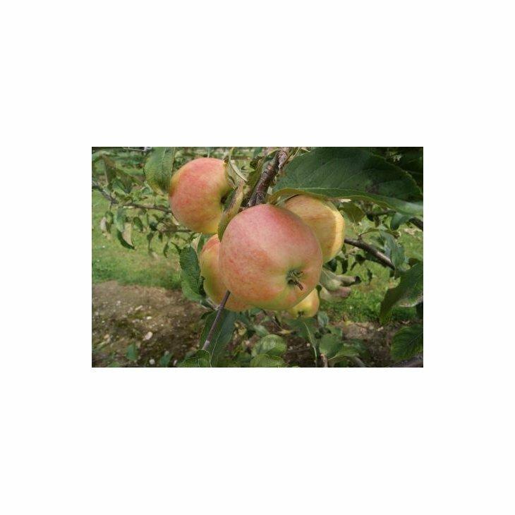 Æbletræ Nanna