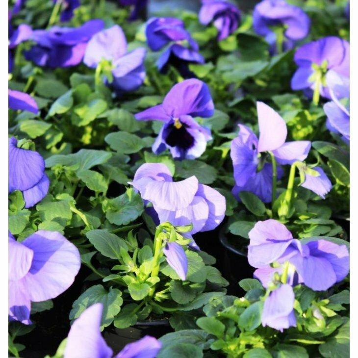 Hornviol - Viola cornuta i lilla med sort hagesmæk