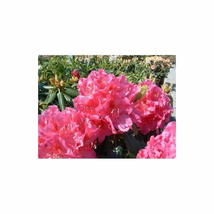 Rhododendron 'Claudine' i 5 l potte