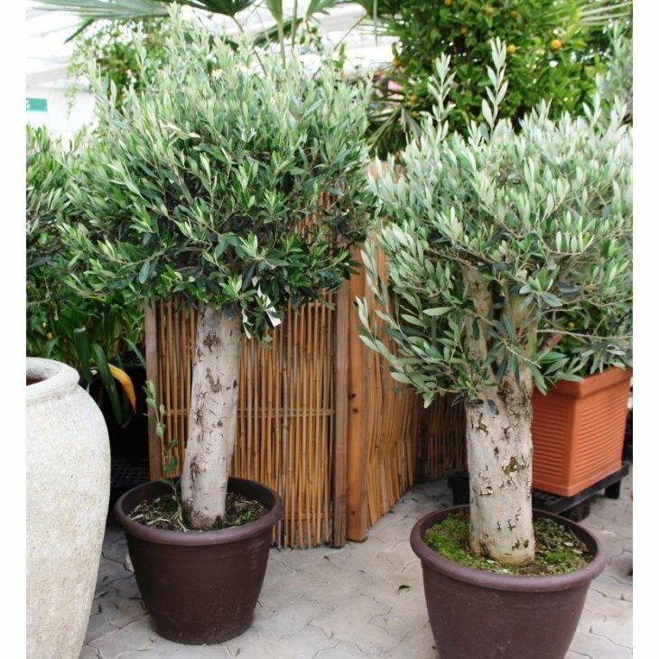 Oliventræ - Olea europaeus - Ekstra stor