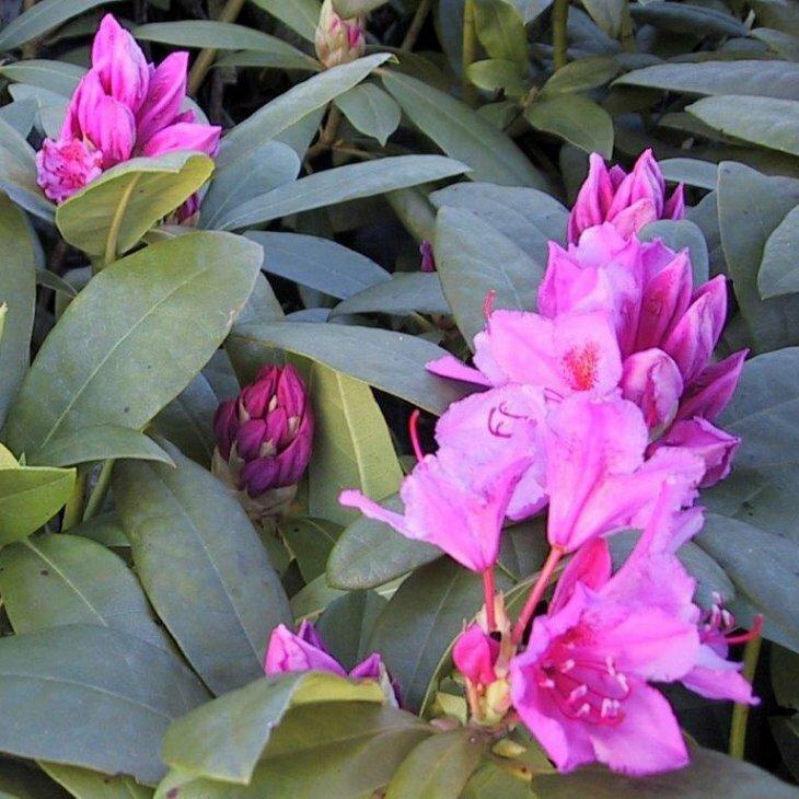 Rhododendron catawbiense 'Delta' i 5 l potte