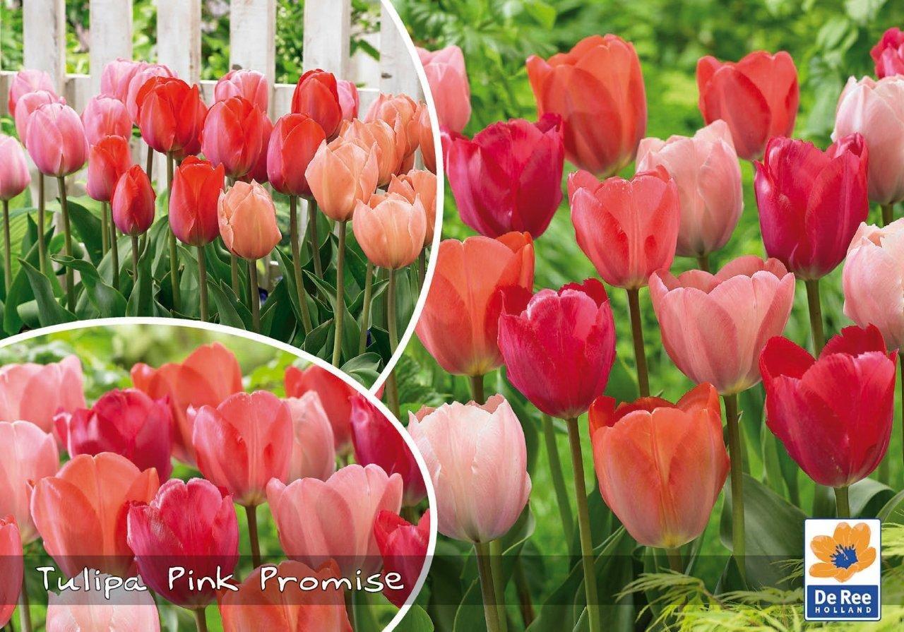 Tulipaner Pink Promise - fersken og rosa farver - Landscape 30 løg
