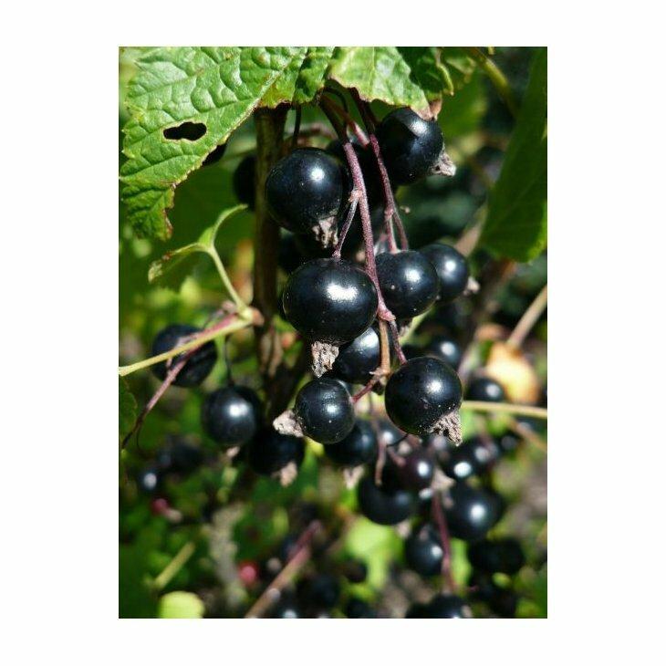 Solbærbusk - Ribes 'Ben Alder' i 5 l potte