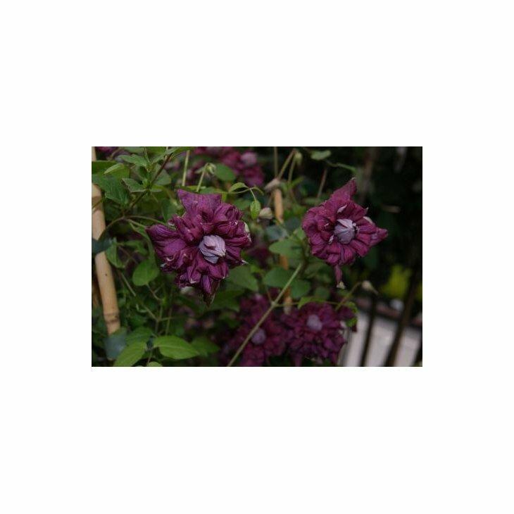 Italiensk skovranke - Clematis viticella 'Purpurea Plena Elegans' i 2 l potte