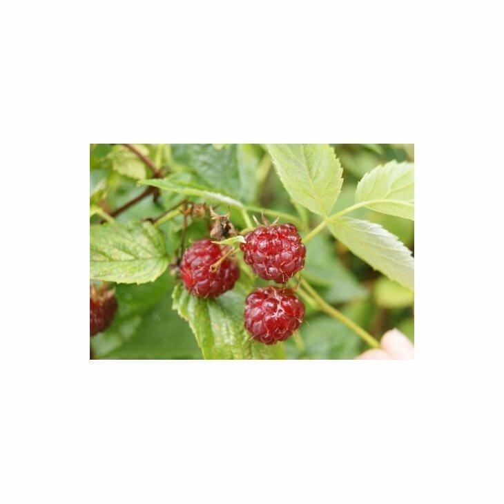 Hindbærbusk - Rubus 'Aroma Queen' i 2 l potte