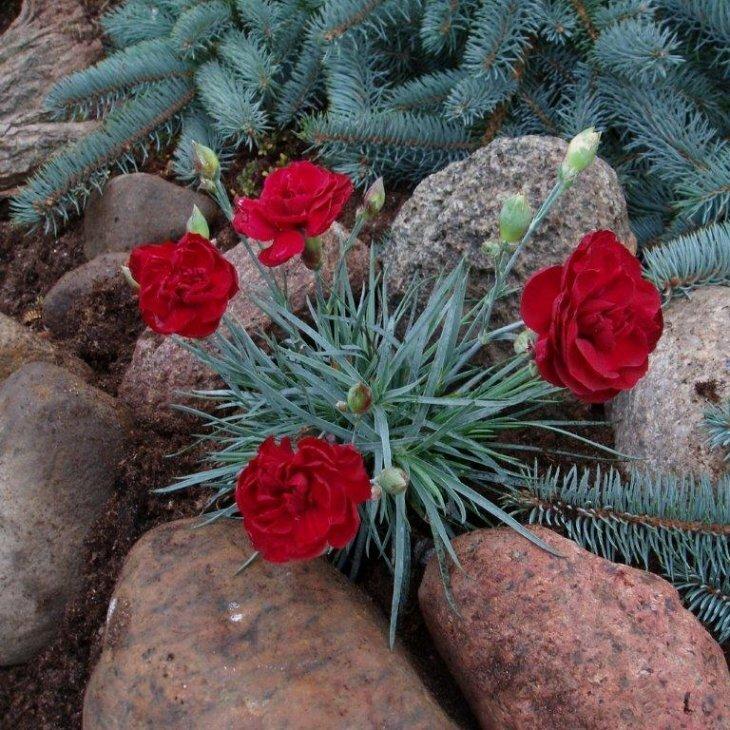 Fjernellike - Dianthus plumarius 'Desmond' i 1 l potte