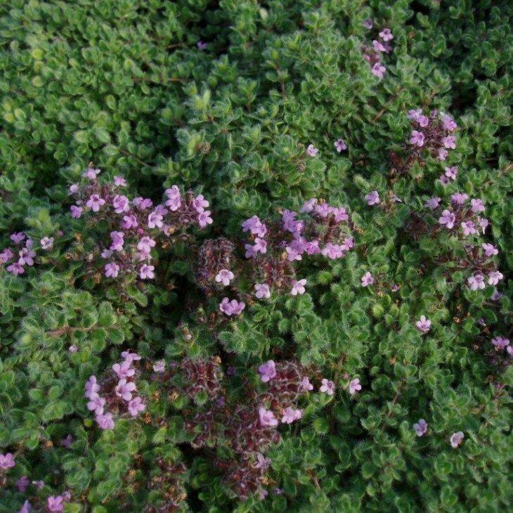Lodden timian - Thymus pseudolanuginosus