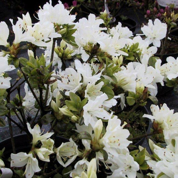 Rhododendron 'Kermesina Alba' i 2 l potte