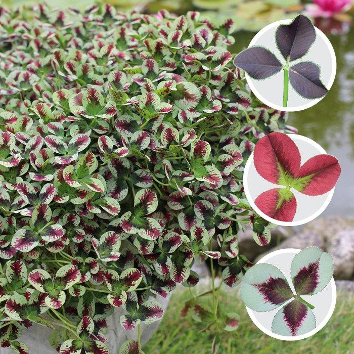 Trifolium Hvidkløver