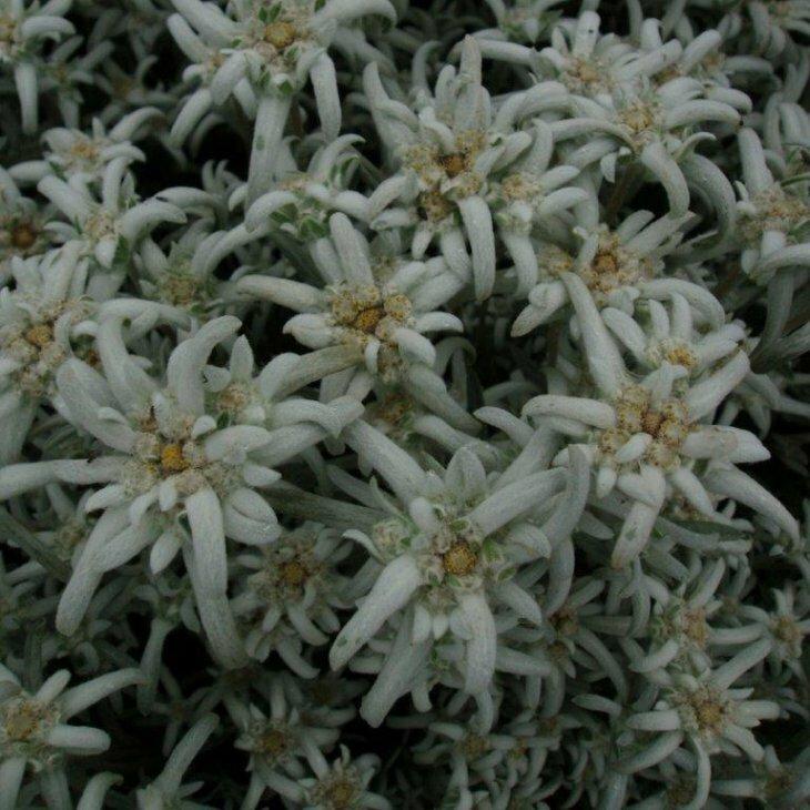 Edelweiss - Leontopodium alpinum i 1 l potte