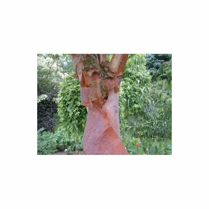 Kobberbirk - Betula albosinensis var. septentrionalis