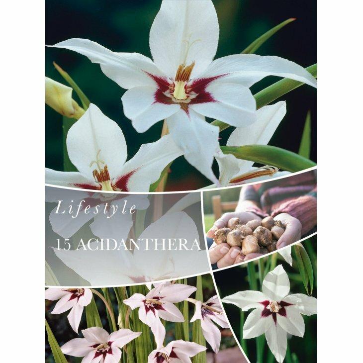 ACIDANTHERA (Blomsterløg)