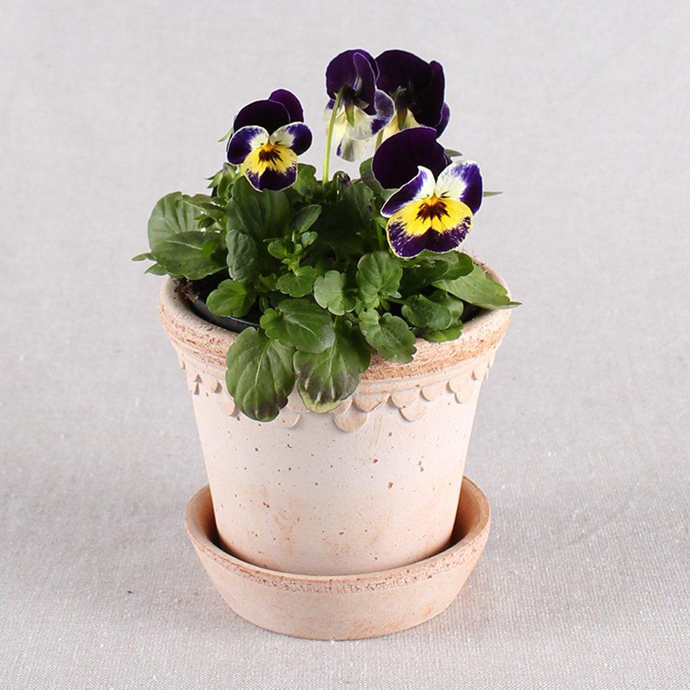 Hornviol - Viola cornuta nr. 12