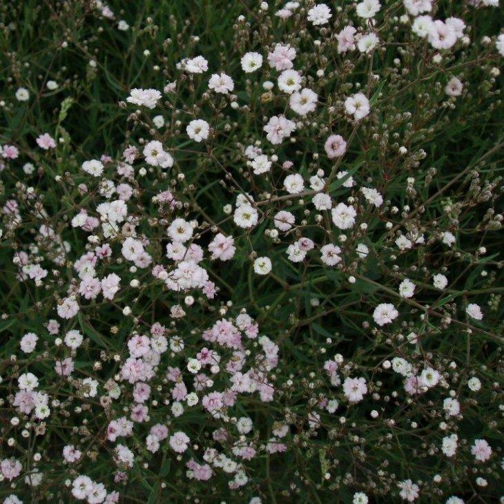 Brudeslør - Gypsophila hybrid 'Rosenschleier' i 1 l potte