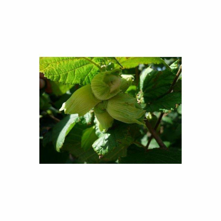 Hasselnøddebusk - Coryllus avelana 'Lambert Filbert' i 7,5 l potte