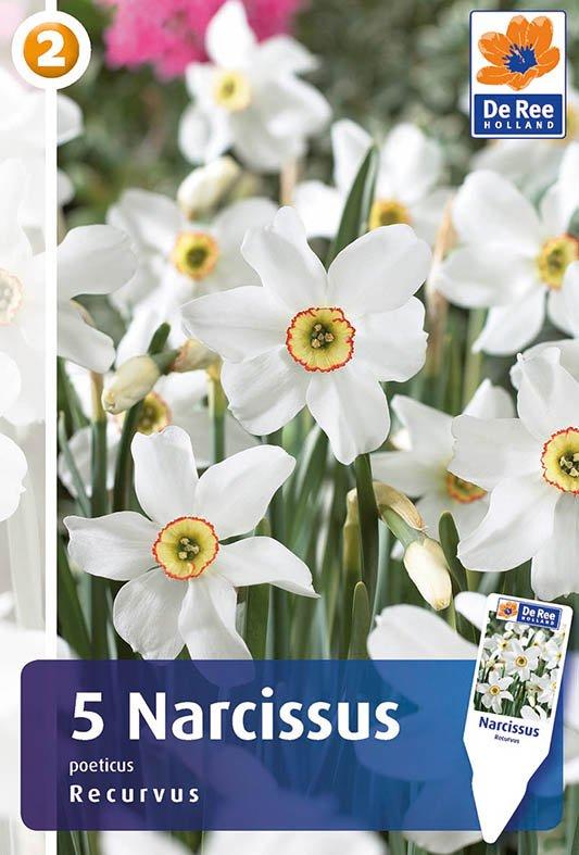 Narcissus poeticus Recurvus - Pinselilje gammeldags 5 løg