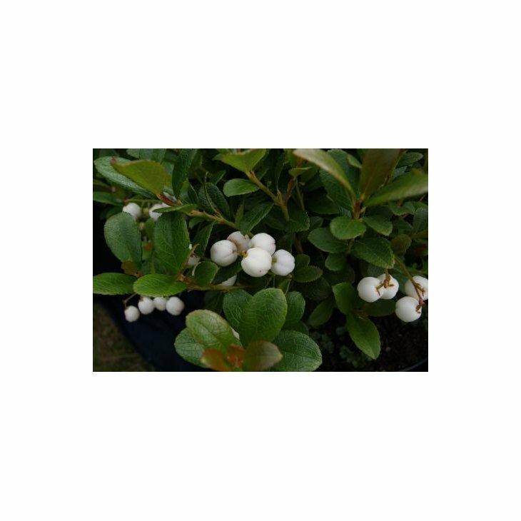 Bjergte - Gaultheria miqueliana' i 10 cm potte