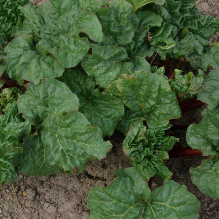 Rabarberplanter sen - Rheum 'Elmsfeuer' i 3,5 l potte