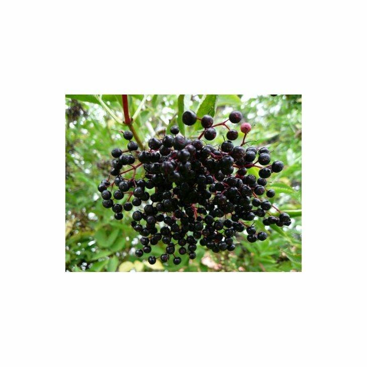 Hyldbærtræ - Sambucus nigra 'Samyl' i 5 l potte