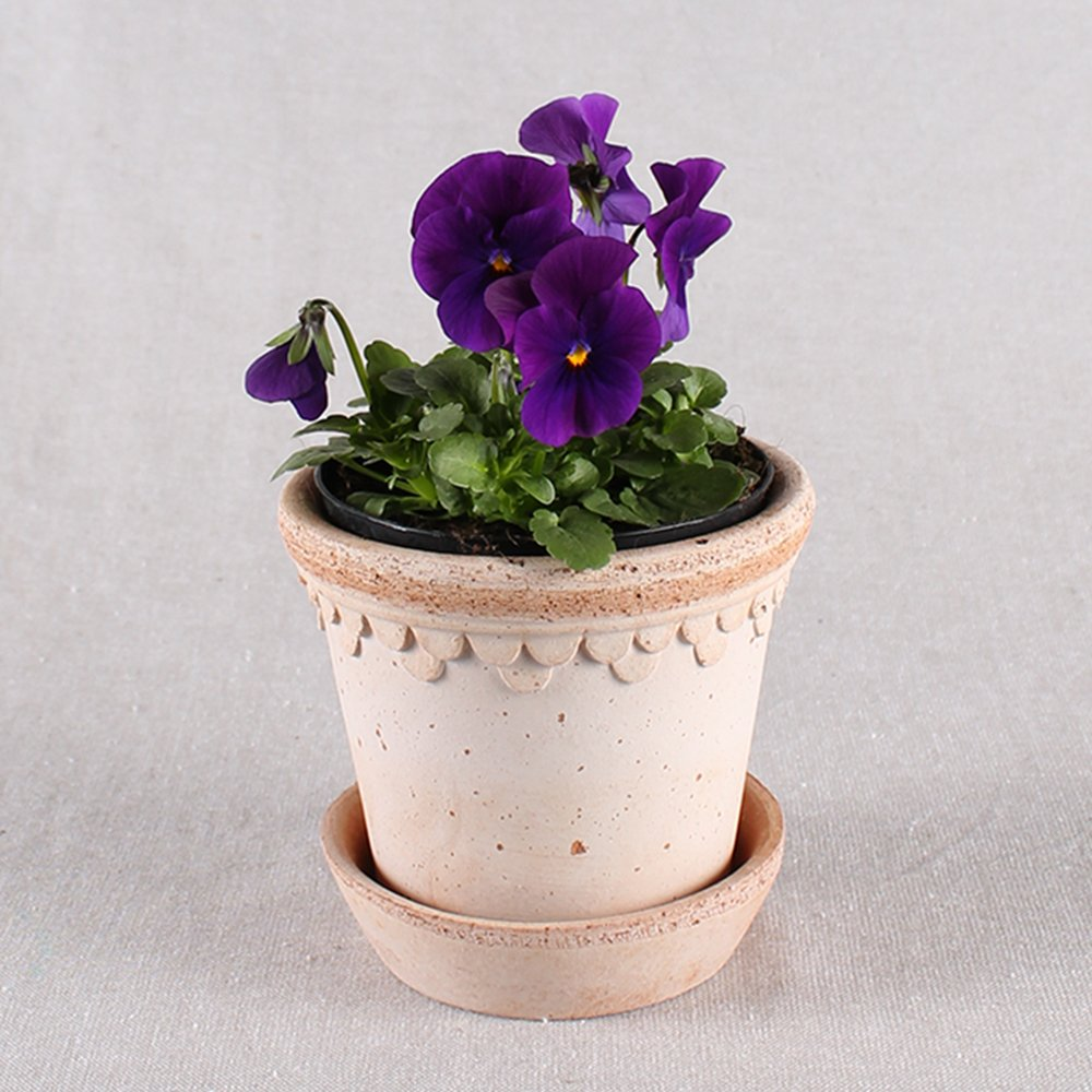 Hornviol - Viola cornuta nr. 11