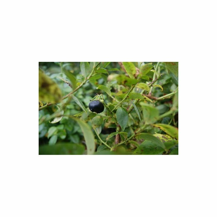 Blåbærbusk storfrugtet - Vaccinium cor. 'Darrow' i 5 L potte