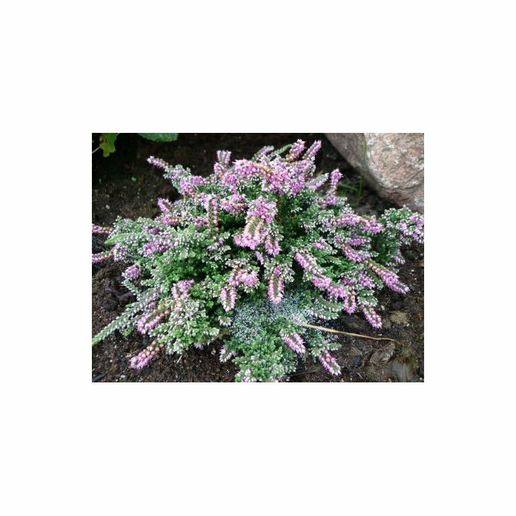 Efterårslyng - Calluna vulgaris 'Sister Anne'