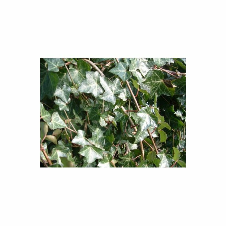 Efeu - Hedera helix ssp. hibernica i 2 l potte