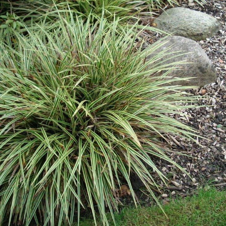 Japansk star - Carex morrowii 'Variegata'