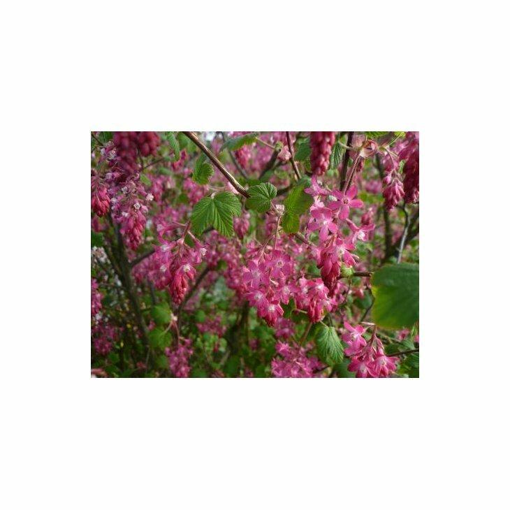 Blodribs - Ribes sanguineum 'Koja' i 5 l potte