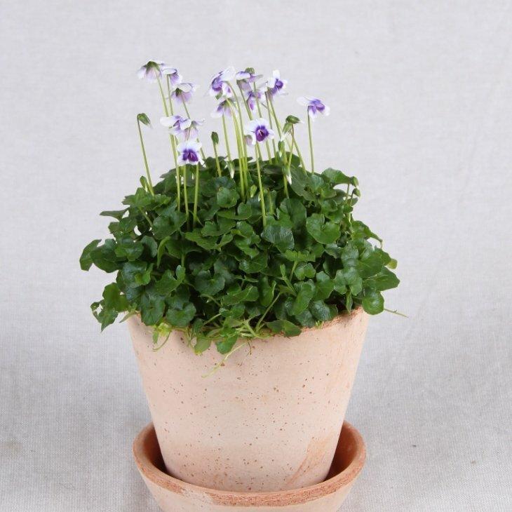 Australsk viol