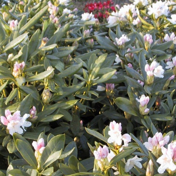 Rhododendron catawbiense 'Cunninghams White'