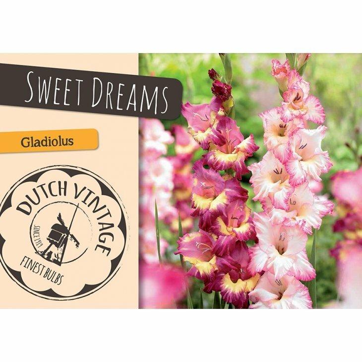 GLADIOLUS SWEET DREAMS (Blomsterløg)
