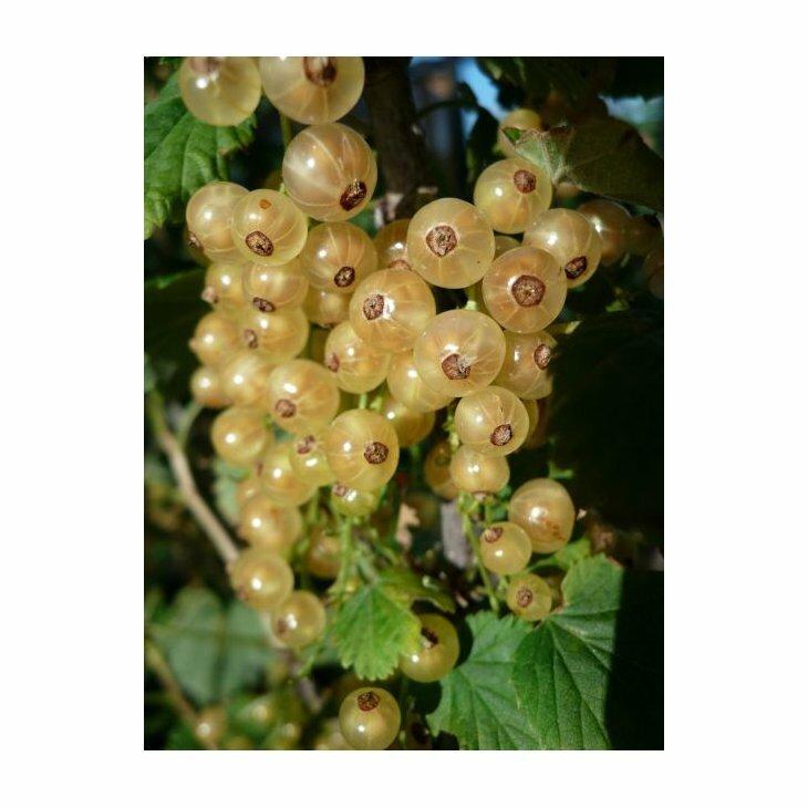 Ribsbusk - Ribes 'Hvid Hollandsk' i 5 l potte
