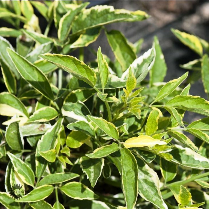 Hyldbærtræ - Sambucus nigra 'Harlekin' i 5 l potte