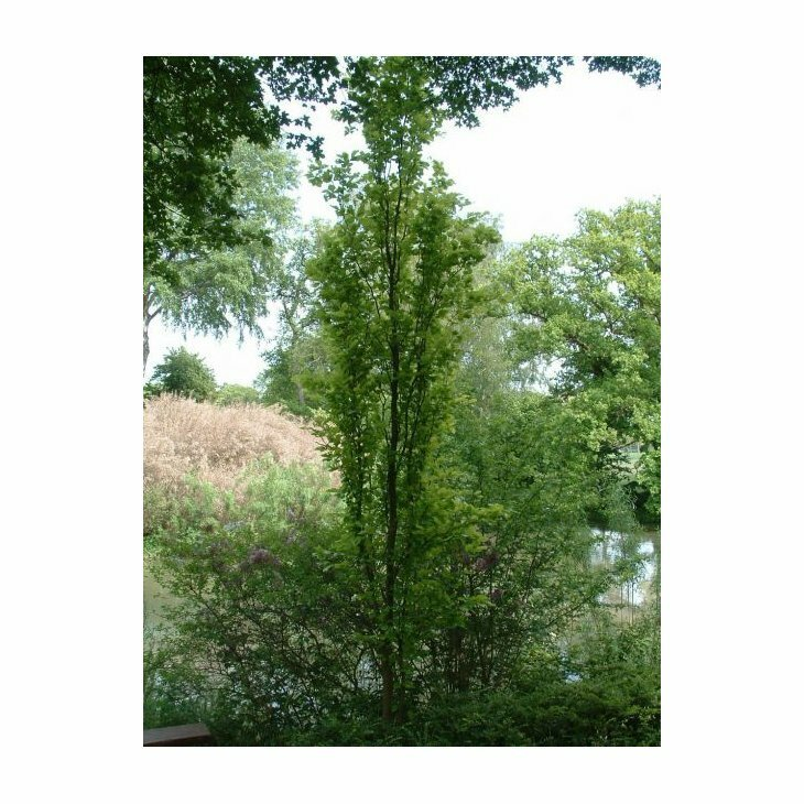 Pyramideeg - Quercus robur 'Fastigiata'