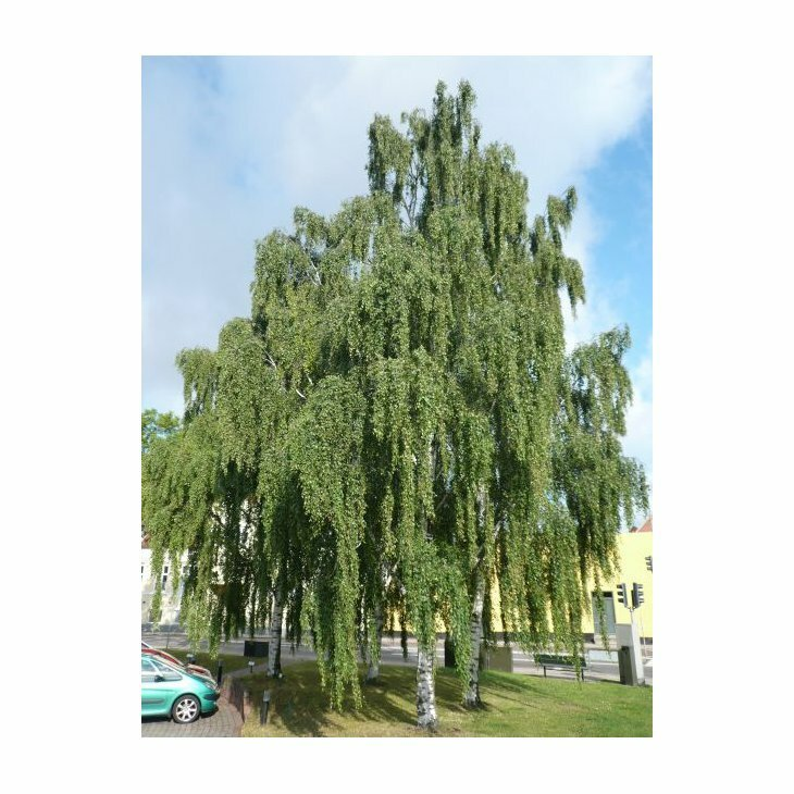 Hængebirk - Vortebirk - Betula pendula 'Bøghs'
