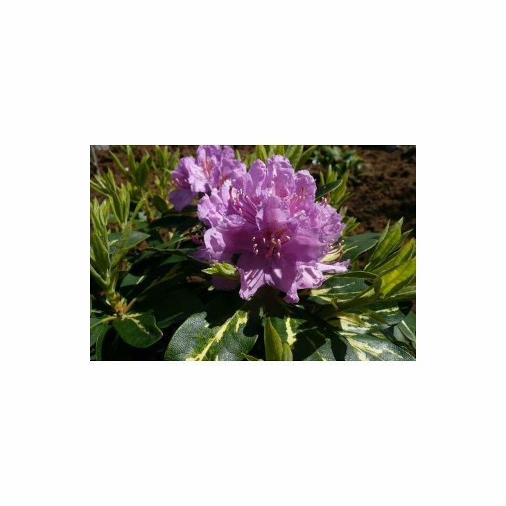 Rhododendron 'Goldflimmer' i 5 l potte