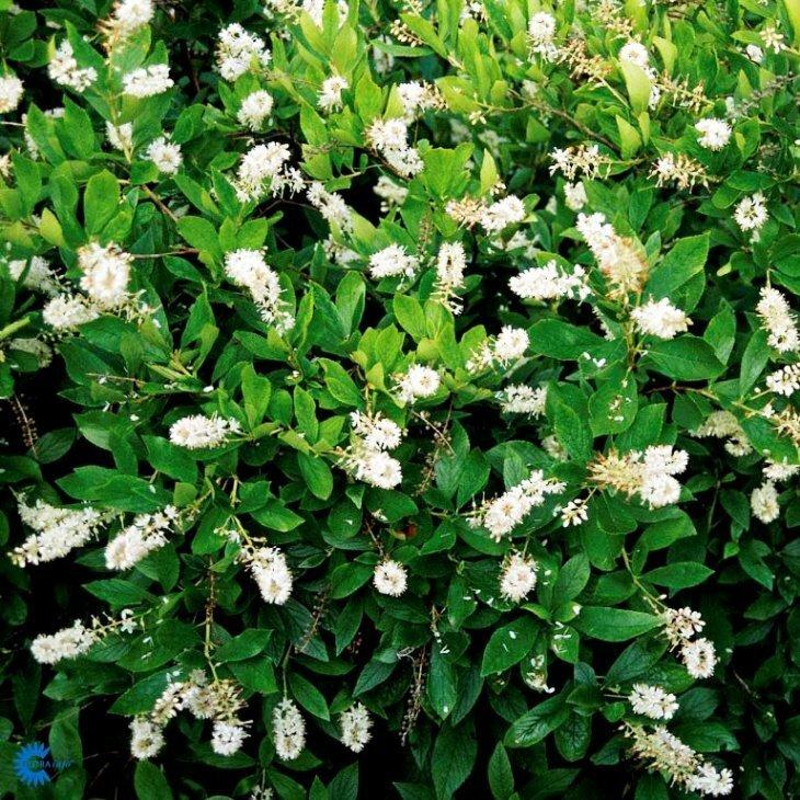 Konvalbusk - Clethra alnifolia 'Clea' i 5 l potte