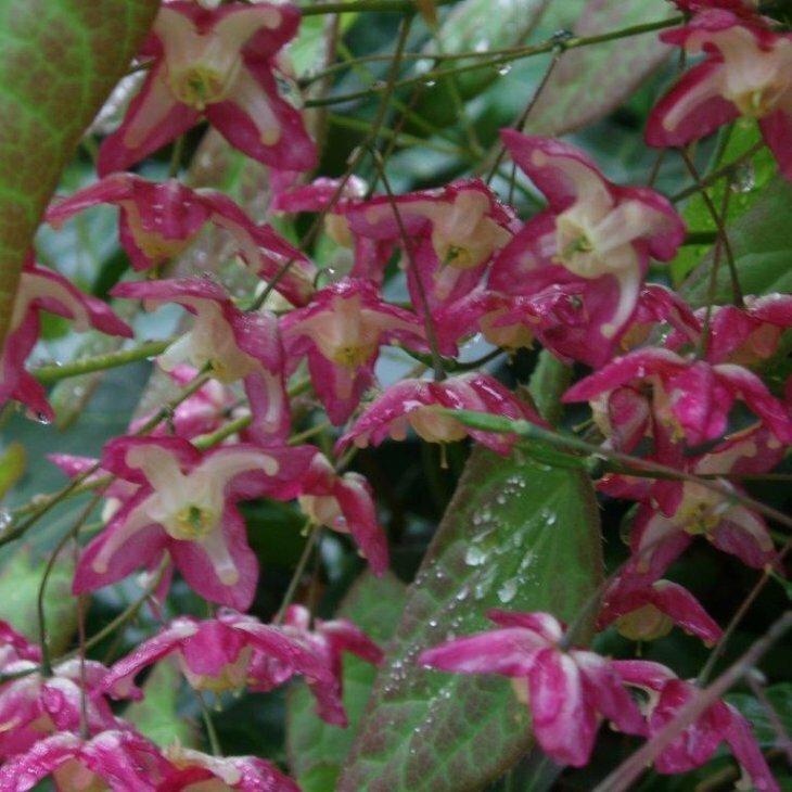 Bispehue - Epimedium rubrum