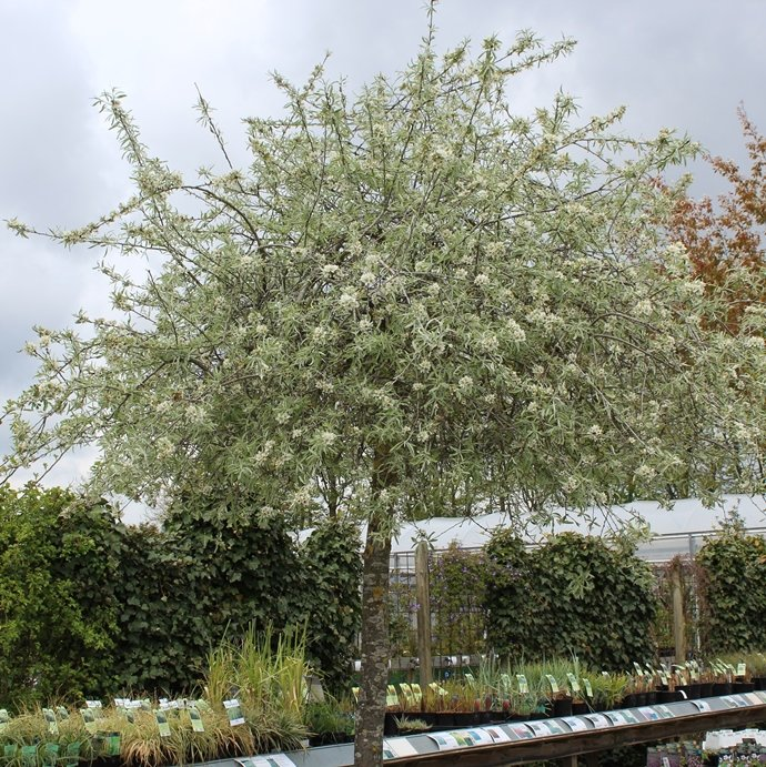 Pilebladet Prydpære - Pyrus salicifolia 'Pendula'