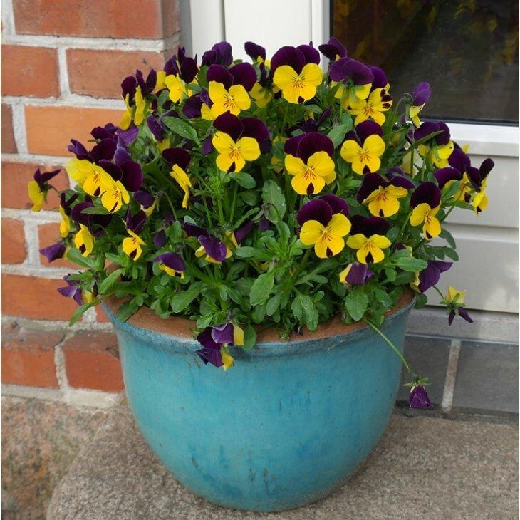 Hornviol - Viola cornuta i gul med purpur top