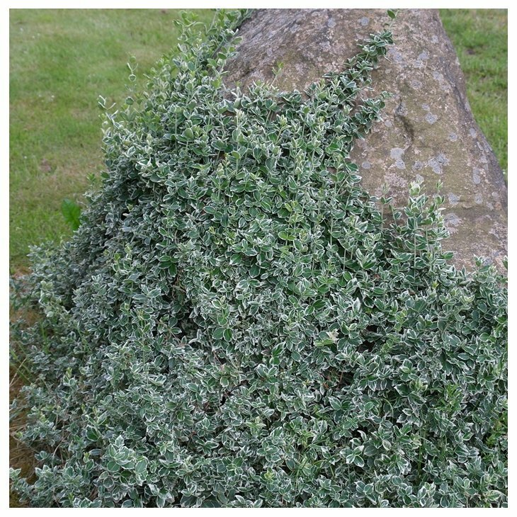 Benved - Euonymus fortunei 'Emerald Gaiety' i 2 l potte